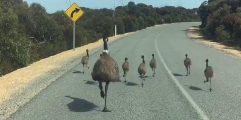 Avestruz e seus filhotinhos andando em uma estrada, olha só que animal incrível!