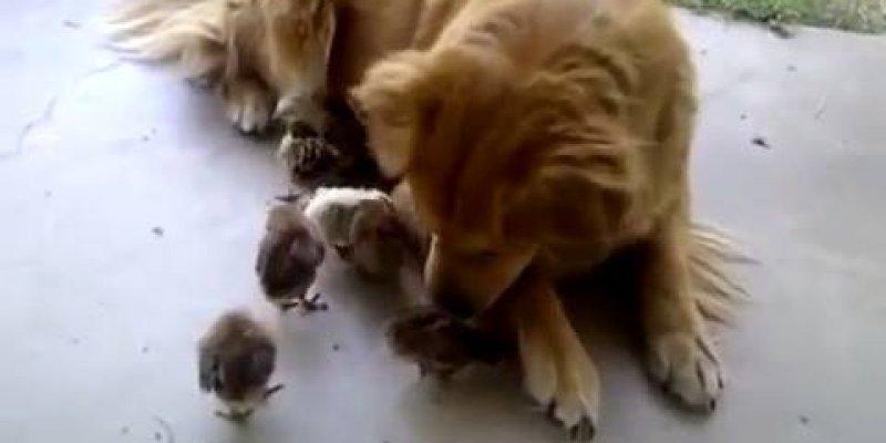 Cachorros e seus amigos pintinhos, uma amizade inusitada que deu certo!