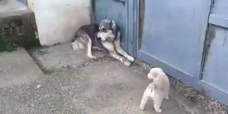 Cadela pensa que cachorro atacou seus filhotes e parte pra cima do cachorro!!!