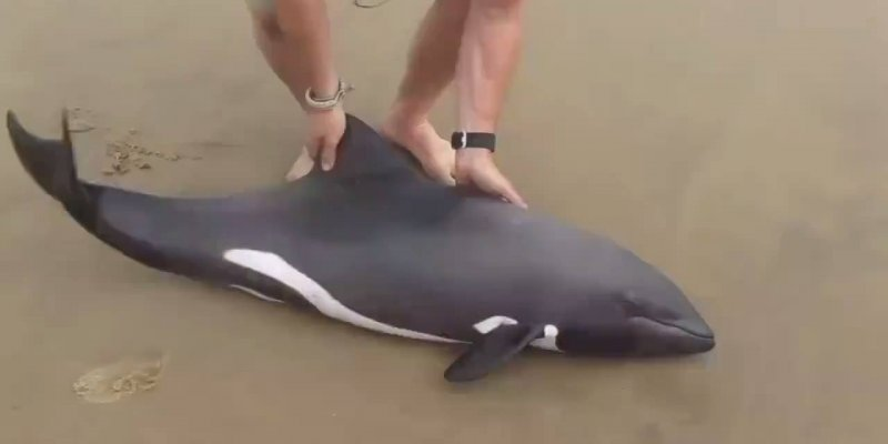 Golfinho sendo resgatado por homem, belíssima atitude e respeito pelos animais!!