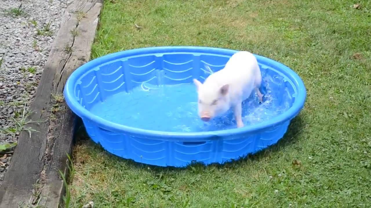 Porquinho brincando em uma pequena piscina olha a festa for Piscina pequena bebe