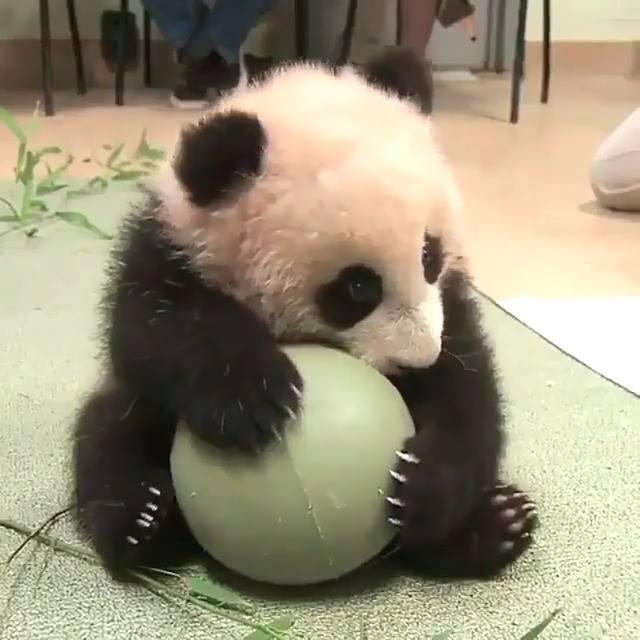 urso panda brincando com uma bola como é fofinho olha a carinha