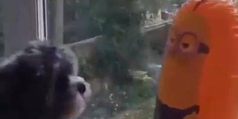 Vídeo com situações engraçadas dos animais, é cada uma que eles aprontam!!!