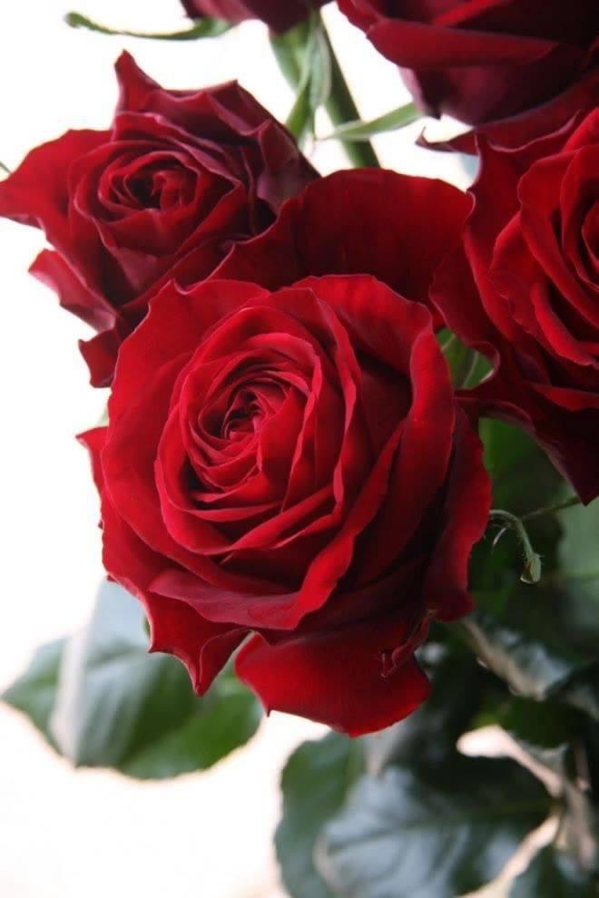 Lindas Rosas Vermelhas Impossível Não Se Apaixonar Pela Beleza