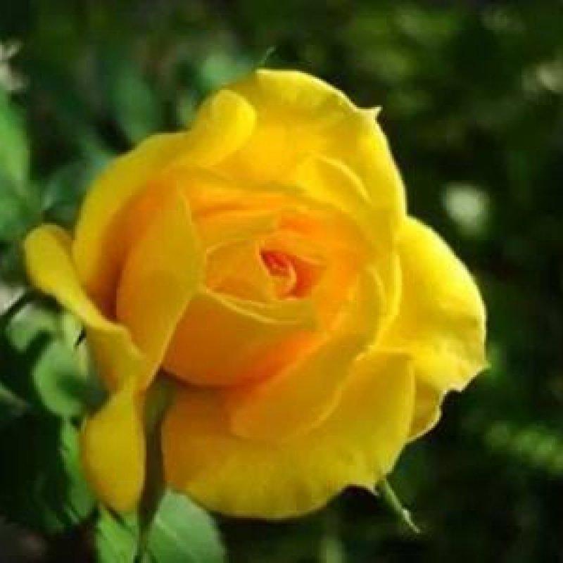Rosas Amarelas Lindíssimas Deus é Maravilhoso Como São Bonitas