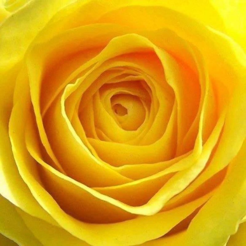 Vídeo Com Lindas Rosas Amarelas Uma Das Flores Mais Populares Do