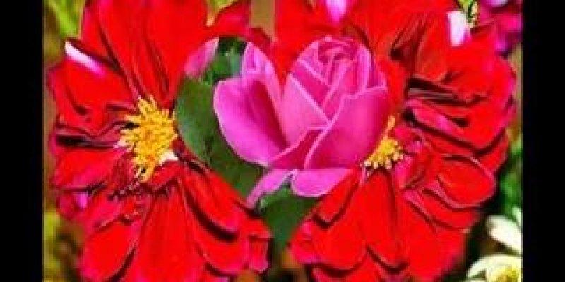 Flores E Frases Boa Noite: Vídeo Com Flores Para Desejar Boa Noite Para Amigos E Amigas