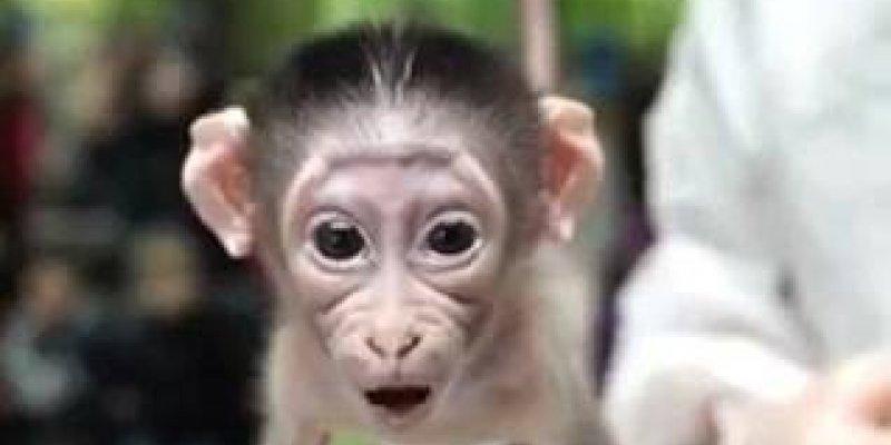 Bom Dia Engracado: Macaco Comemorando O Dia Errado, Muito Engraçado, Compartilhe